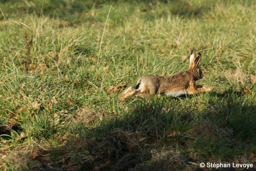 Comment chasser le lievre au chien d arret - Comment chasser les moucherons ...